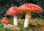 poisionness mushroom